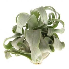 Tillandsia streptophylla