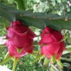 Pitaya (Hylocereus undatus)