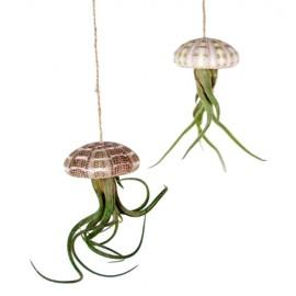 Conjunto erizos Tillandsia medusae