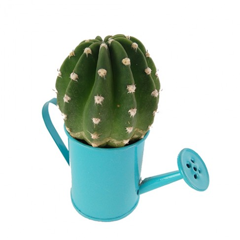 Cactus regadera azul