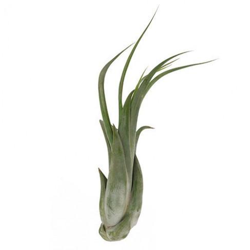 Tillandsia paucifolia