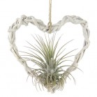 Corazón de Tillandsia
