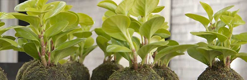 Plantas Únicas